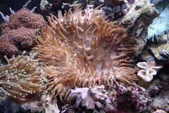 anemonjättehav Royaltyfri Fotografi