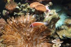 anemonjättehav Royaltyfri Bild