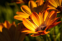 Osteospermum orange in sun light Royalty Free Stock Images