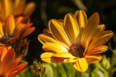 Anemonne - Gänseblümchen Stockbild