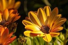 Anemonne - margarida Imagem de Stock