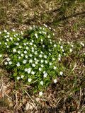 Anemonnemorosa i en finlandssvensk skog Royaltyfri Foto