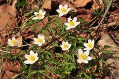 Anemonnemorosaen är envår blomningväxt i släktet anemonen i familjranunculaceaen, inföding till Europa Arkivbilder