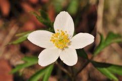Anemonnemorosaen är envår blomningväxt i släktet anemonen i familjranunculaceaen, inföding till Europa Arkivbild