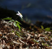 anemonnemorosaträ Royaltyfri Foto