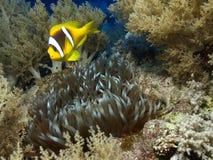 anemonowa ryba Zdjęcie Stock