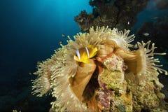 anemonowego anemonefish bąbla czerwony morze Obrazy Stock