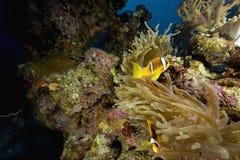 anemonowego anemonefish bąbla czerwony morze Obraz Stock
