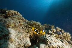 anemonowego anemonefish bąbla czerwony morze Fotografia Stock