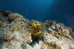 anemonowego anemonefish bąbla czerwony morze Zdjęcia Royalty Free