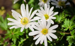 Anemonowego blanda biała świetność, biali kwiaty Obraz Royalty Free