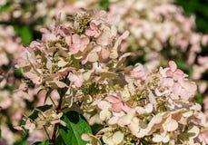 Anemonowego blanda biała świetność, grupa biali kwiaty Zdjęcie Royalty Free