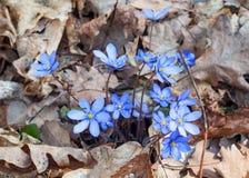 Anemonowego hepatica wiosny błękitny kwiat Obrazy Royalty Free