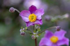 Anemonowego hupehensis japonica kwiatonośna roślina, Japoński anemon kwitnie w kwiacie, thimbleweed windflowers zdjęcia stock