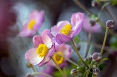 Anemonowego hupehensis japonica kwiatonośna roślina, Japoński anemon kwitnie w kwiacie, thimbleweed windflowers zdjęcie stock