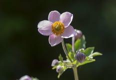 Anemonowego hupehensis japonica kwiatonośna roślina, Japoński anemon kwitnie w kwiacie, thimbleweed windflowers obrazy stock