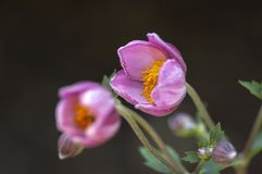 Anemonowego hupehensis japonica kwiatonośna roślina, Japoński anemon kwitnie w kwiacie, thimbleweed windflowers obraz stock