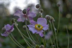 Anemonowego hupehensis japonica kwiatonośna roślina, Japoński anemon kwitnie w kwiacie, thimbleweed windflowers fotografia stock