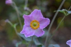Anemonowego hupehensis japonica kwiatonośna roślina, Japoński anemon kwitnie w kwiacie, thimbleweed windflowers obraz royalty free