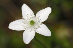 Anemonowego narcissiflora biały kwiat Obraz Royalty Free