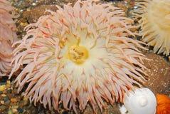 anemonowego zbliżenia kolorowy morze kolorowy Obraz Stock