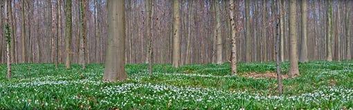 anemonowej lasowej wiosna biały wildflower drewno fotografia stock