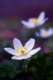 Anemonowej wiosny mały kwiat obraz royalty free