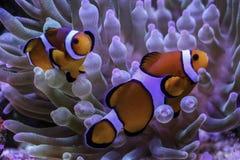 Anemonowi clownfish obraz stock