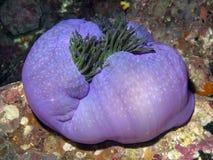 anemonowi heteractis Magnifica wspaniały Obraz Royalty Free