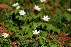 Anemonowi nemorosa kwiaty, mali biali springflowers obrazy stock