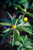 Anemonowy żółty kwiat, selekcyjna ostrość obrazy royalty free