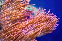 anemonowy akwarium żadny morze brać dziki Obraz Royalty Free