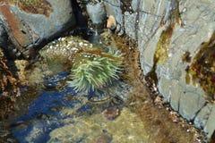 anemonowy akwarium żadny morze brać dziki fotografia stock