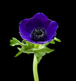 anemonowy błękitny zmrok Zdjęcia Royalty Free