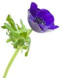 anemonowy błękitny zmrok Obraz Royalty Free
