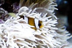 anemonowy błazenu ryba morze Obraz Royalty Free