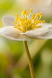 anemonowy biel Fotografia Royalty Free