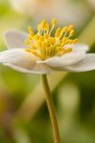 anemonowy biel Zdjęcia Royalty Free