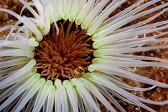 anemonowy biel Zdjęcie Stock