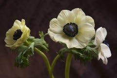 Anemonowy Coronaria maczka anemon fotografia stock