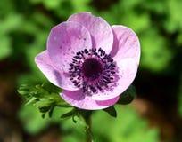 Anemonowy coronaria, różowy wiosna kwiat, makowy anemon fotografia royalty free