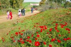 Anemonowy Czerwony kwiatu Kwitnąć Obrazy Royalty Free