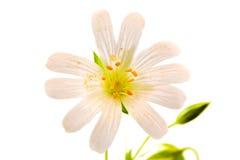 Anemonowy dąb lub anemon zdjęcie stock