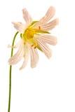 Anemonowy dąb lub anemon fotografia royalty free
