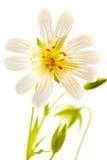 Anemonowy dąb lub anemon zdjęcia stock