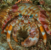 Anemonowy eremita krab Obrazy Stock
