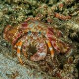 Anemonowy eremita krab na piasku Zdjęcie Stock
