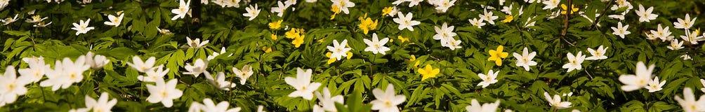 anemonowy faborek Zdjęcia Stock