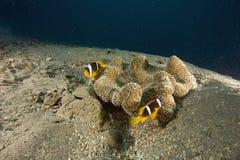 anemonowy haddon s haddoni stichodactyla zdjęcia stock