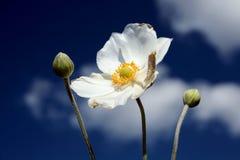 anemonowy honorine jobert Fotografia Stock